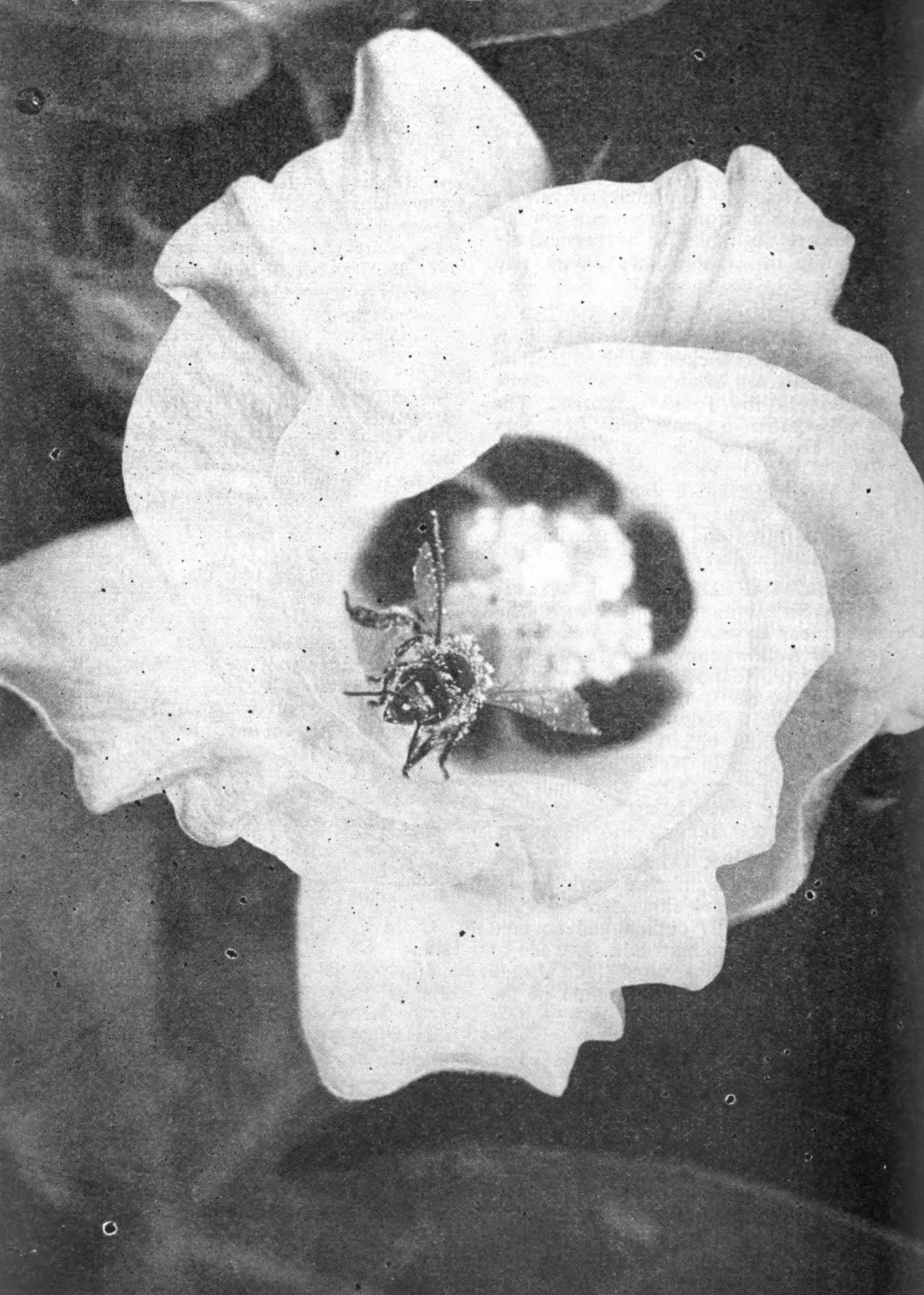 The honeybee, above, is emerging from Pima S-1 cotton flower. As it dips into the flowers of other cotton plants in search of nectar it will cross-pollinate those plants. Although cotton is a self-pollinating plant, bee culture scientists of the U. S. Agricultural Research Service are finding in tests at Tucson, Arizona, that cross-pollination with bees increases cotton yields.—U.S.D.A. photo by Forsythe.