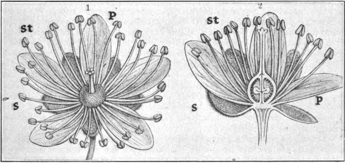 Diagram of basswood flower (Tilia); 1, entire flower; 2, lengthwise section of ovary. The outer cycle of five small leaves is the calyx, each member is a sepal (s) ; the inner cycle of five larger leaves is the corolla, each member is a petal (p); the numerous pinlike organs forming the third cycle are the stamens (st); the little terminal knobs are the anthers and contain the pollen; the thread-like stems are the filaments; in the center of the flower is the pistil: the globular base is the ovary in which are formed the seeds; the stem above is the style bearing the stigma.— (After Kerner.)