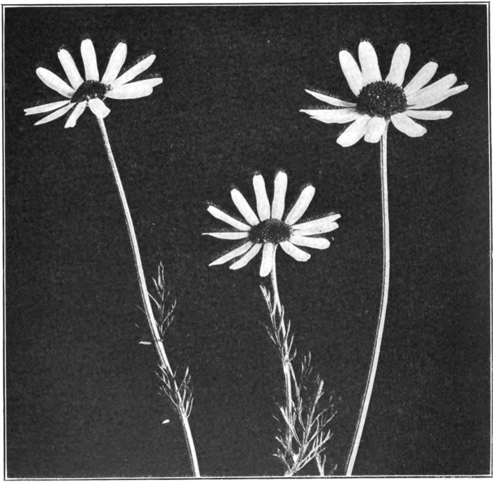 Fig. 79. — May-Weed (Anthemis Cotula). Photographed by Lovell.