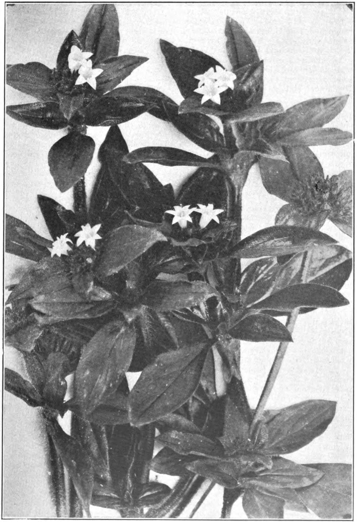 Fig. 82. — Mexican Clover (Richardia scabra). Photographed by E. R. Root.