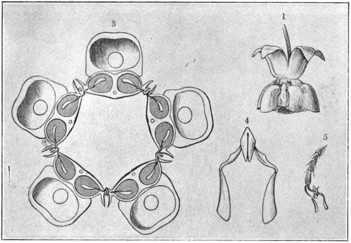 Fig. 85. — Clip mechanism of milkweed flower. 1. Flower of common milkweed (Asclepias syriaca) seen from the side. 3. Transverse section through the flower (enlarged). 4. Corpusculum (clip) with two pollinia (enlarged). 5. Foot of an insect with pollinia fastened to it by the clip. (After Kerner.)