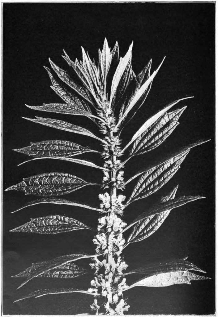 Fig. 86. — Motherwort (Leonurus Cardiaca). Photographed by Lovell.