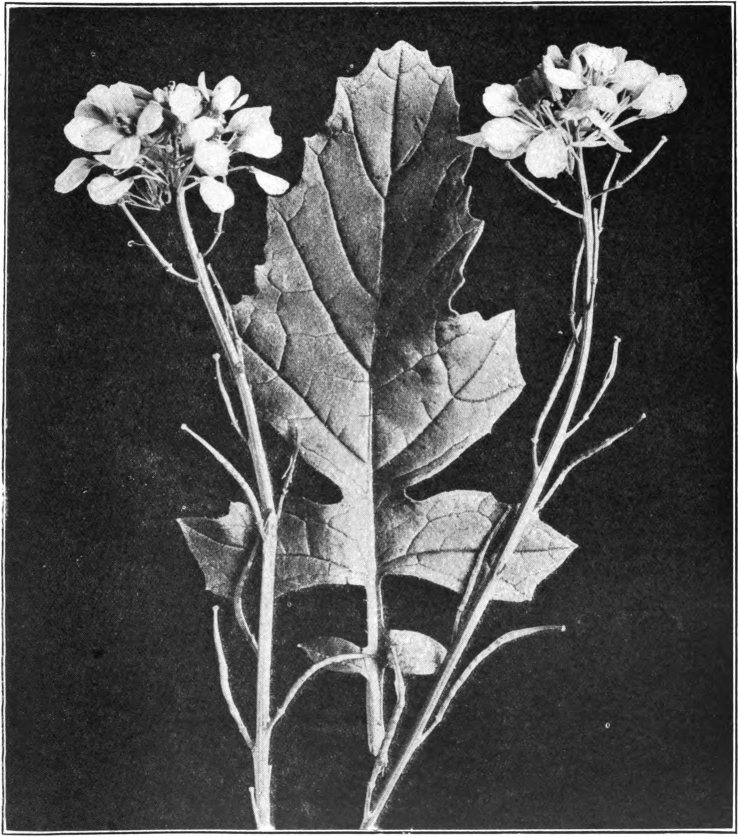 Fig. 88. — Black Mustard (Brassica nigra). Photographed by Lovell.