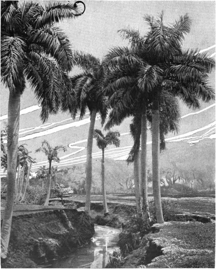 Fig. 93. — Royal Palm (Oreodoxa regia). The royal palm is an important honey plant in Porto Rico and Cuba, where it forms large forests, and in southern Florida. It blooms throughout the year and yields nectar when there are no other sources of honey.