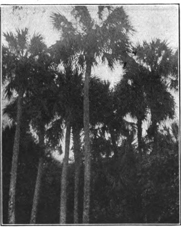 Fig. 91. — Cabbage Palmetto (Sabal palmetto). Tree in bloom.
