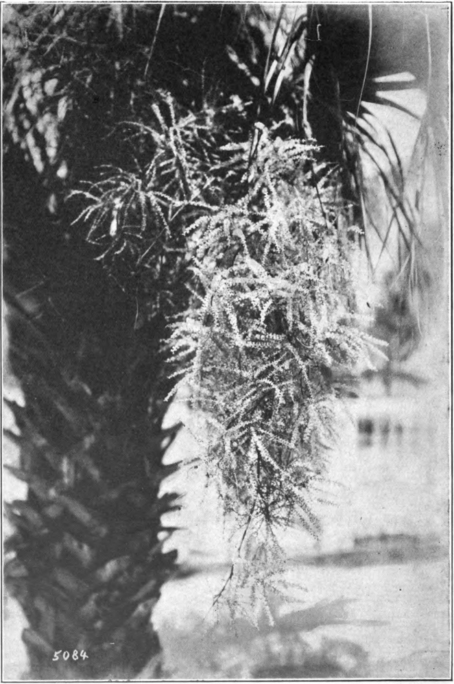 Fig. 95 — Cabbage Palmetto (Sabal Palmetto). Flower-cluster. (Florida Photo. Concern.)