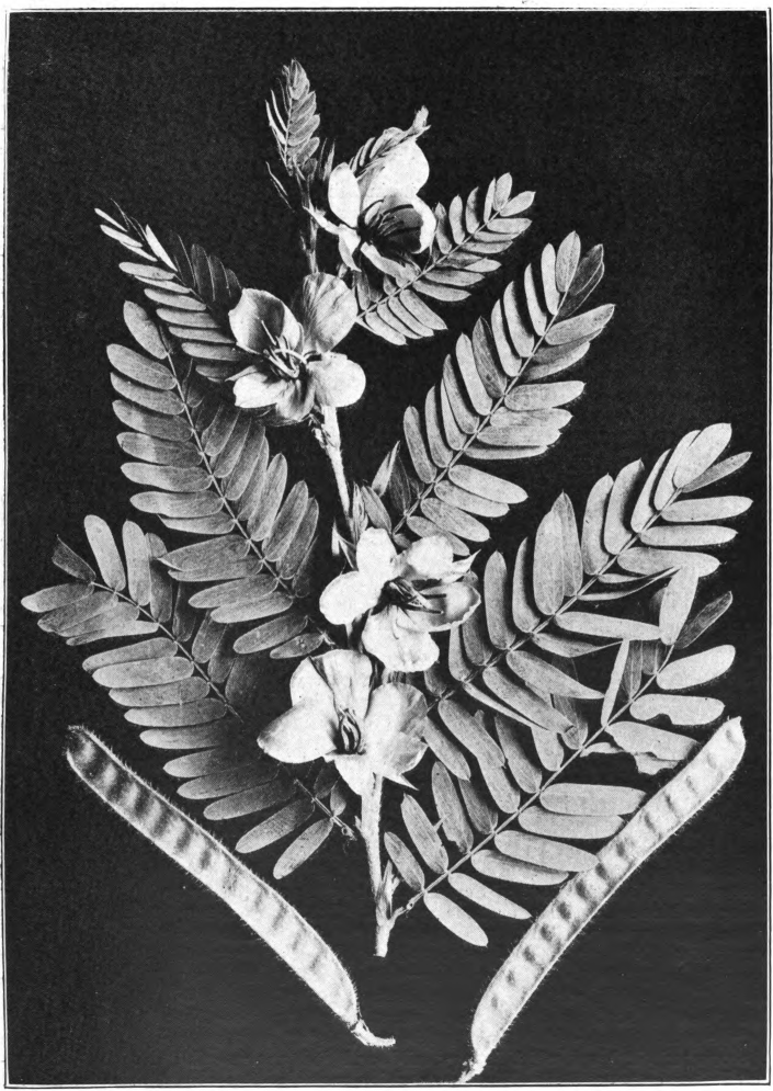 Fig. 98. — Partridge-Pea (Cassia Chamaechrista). Photographed by Lovell.