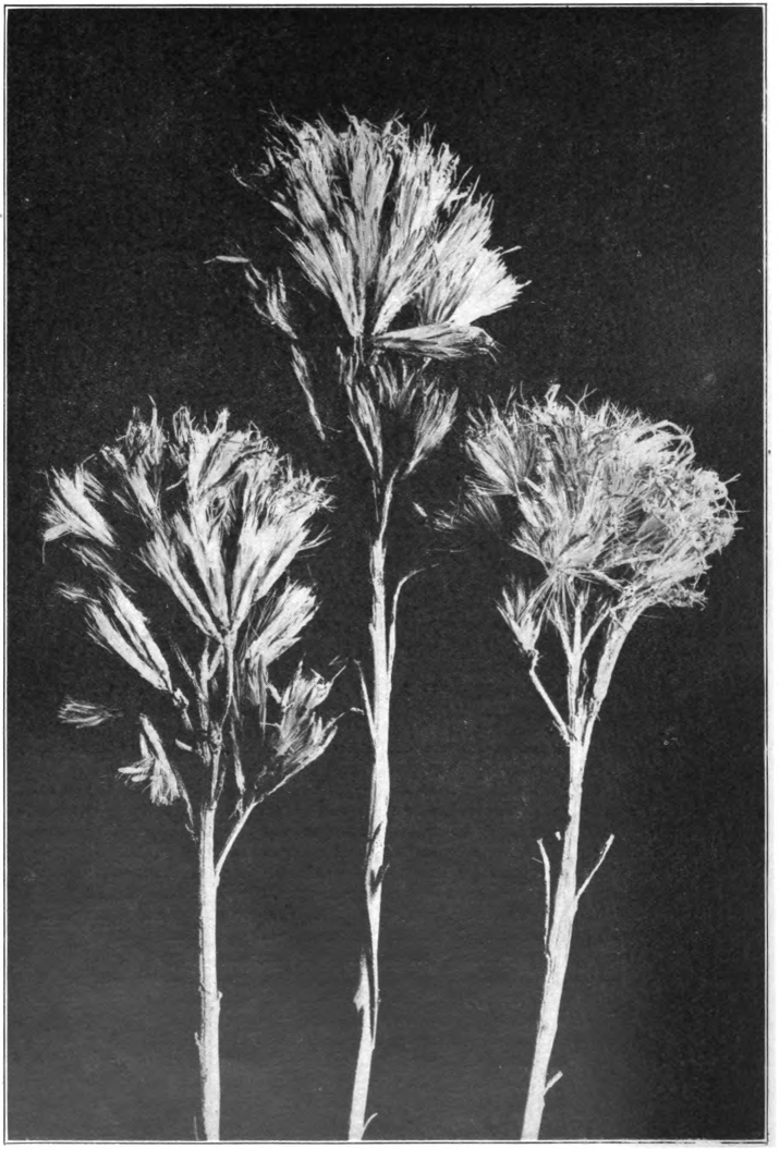 Fig. 100. — Rabbit-Brush (Chrysothamnus). Photographed by Lovell.