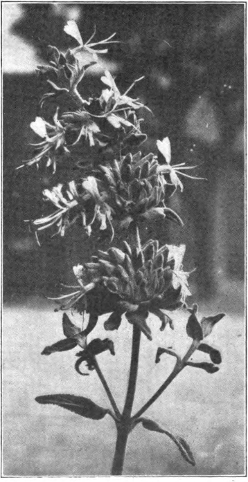 Fig. 102. — Black Sage (Salvia mellifera). Photographed by E. R. Root.