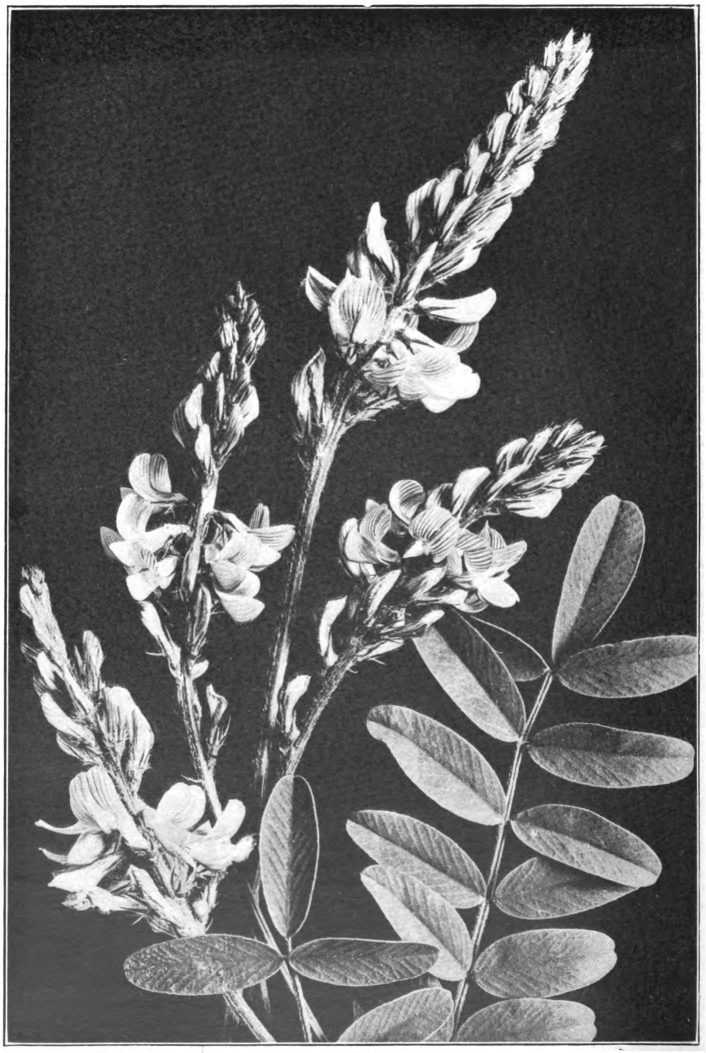 Fig. 105. — Common Sainfoin (Onobrychis sativa). Photographed by Lovell.