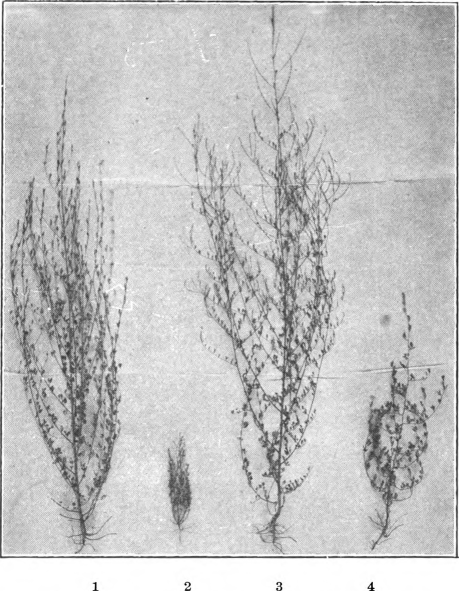 Fig. 112. — Nos. 1 and 2, Hubam and annual yellow sweet clover planted the same day, cultivated and raised in the same row and under identical conditions. Nos. 3 and 4, Hubam and the old biennial sweet clover planted the same day, cultivated and raised in the same row and under identical conditions. (Courtesy Alabama Hubam Clover Association.)