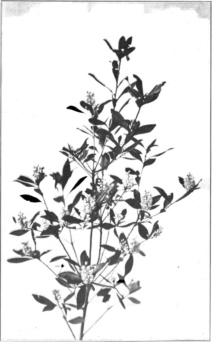 Fig. 114. — Black Titi, or Spring Titi (Cliftonia monophylla). Photographed by J. J. Wilder.