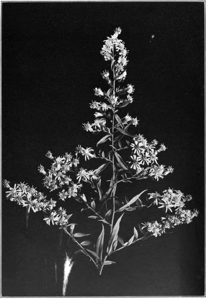Fig. 16. — Small White Aster (Aster vimineus). Common in fields. Photographed by Lovell.