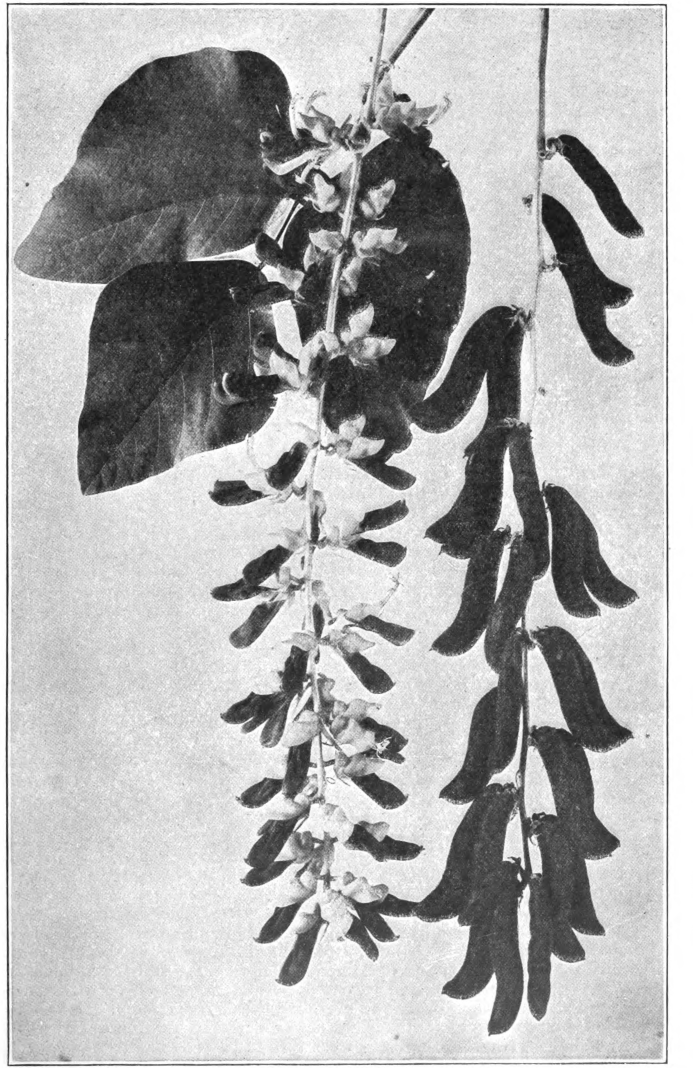 Fig. 118. — Velvet Beau, one-third natural size. Photographed by Bureau of Plant Industry, United States Department of Agriculture.