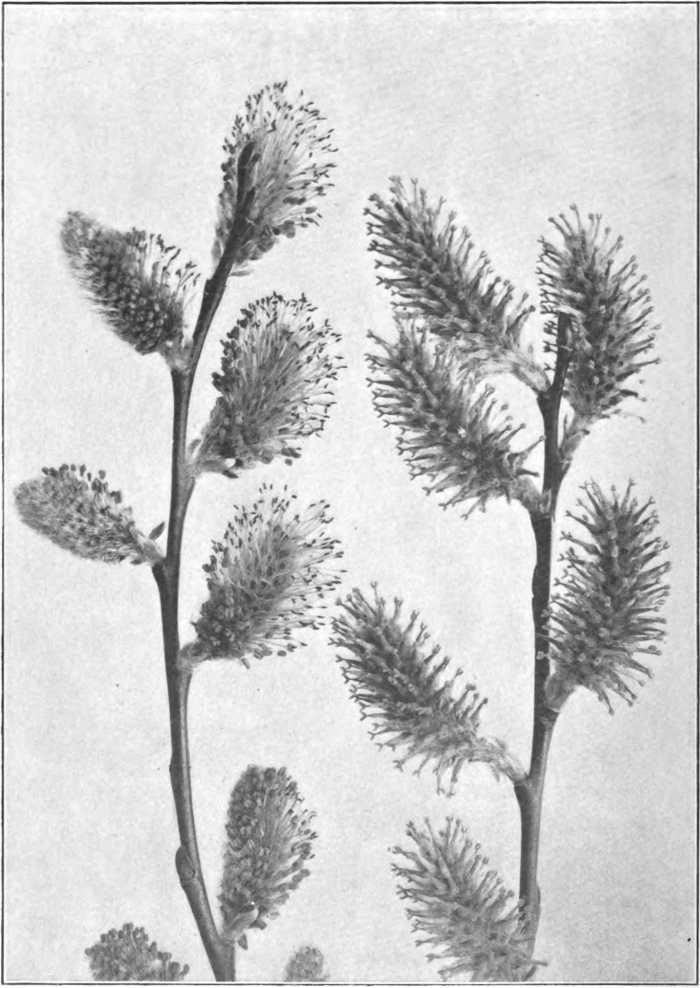 Fig. 122. — Pussy Willow (Salix discolor). Left staminate catkins; right, pistillate catkins. Photographed by Lovell.
