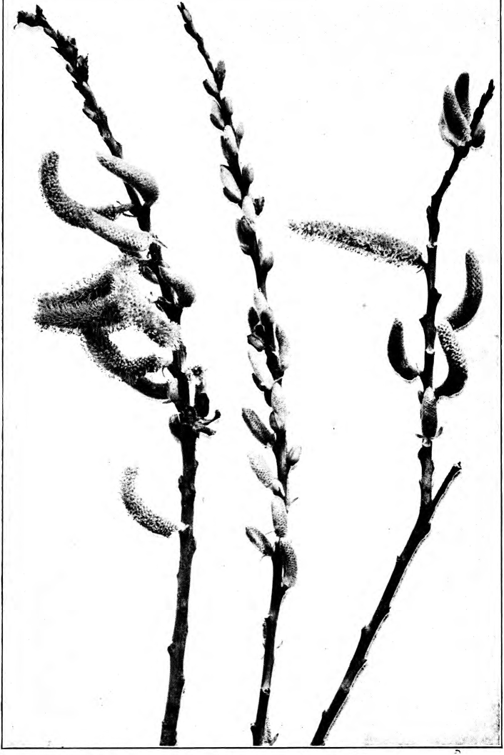 Fig. 124. — Willow (Salix Nutallii). Photographed by Richter.