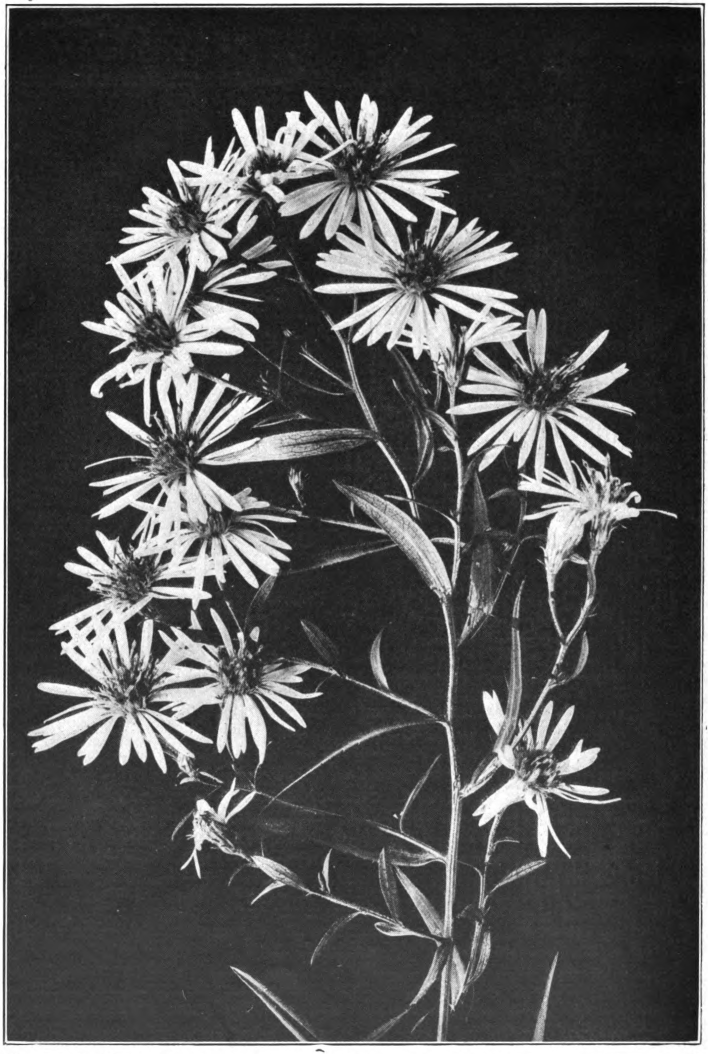 Fig. 17. — Panicled Aster (Aster paniculatus). Common in waste places. Photographed by Lovell.