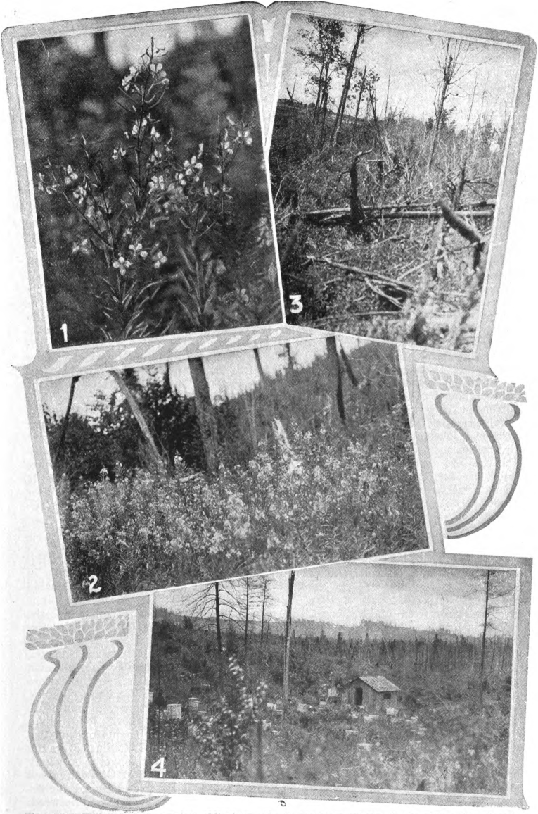 Fig. 126. — Willow-herb in northern Michigan. No. 1, the blossom; No. 2. the plant; Nos. 3 and 4, its habitat. Photographed by E. R. Root.