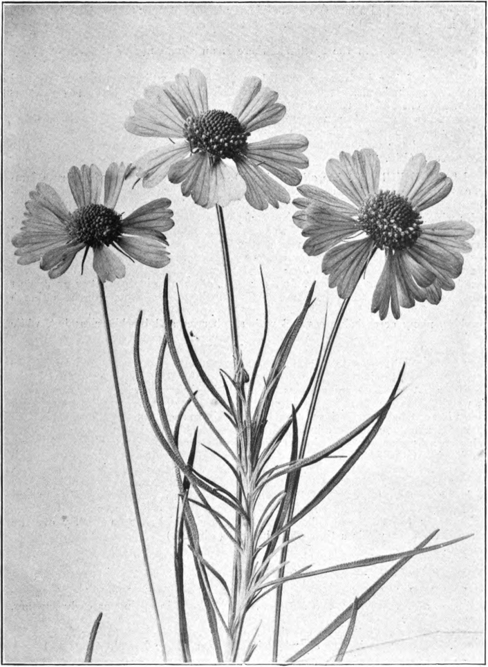 Fig. 23. — Bitterweed (Helenium tenuifolium). Flowers natural size. Photographed by Lovell.