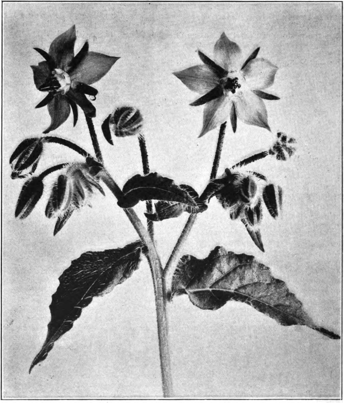 Fig. 29. — Common borage (Borago officinalis). Photographed by Lovell.