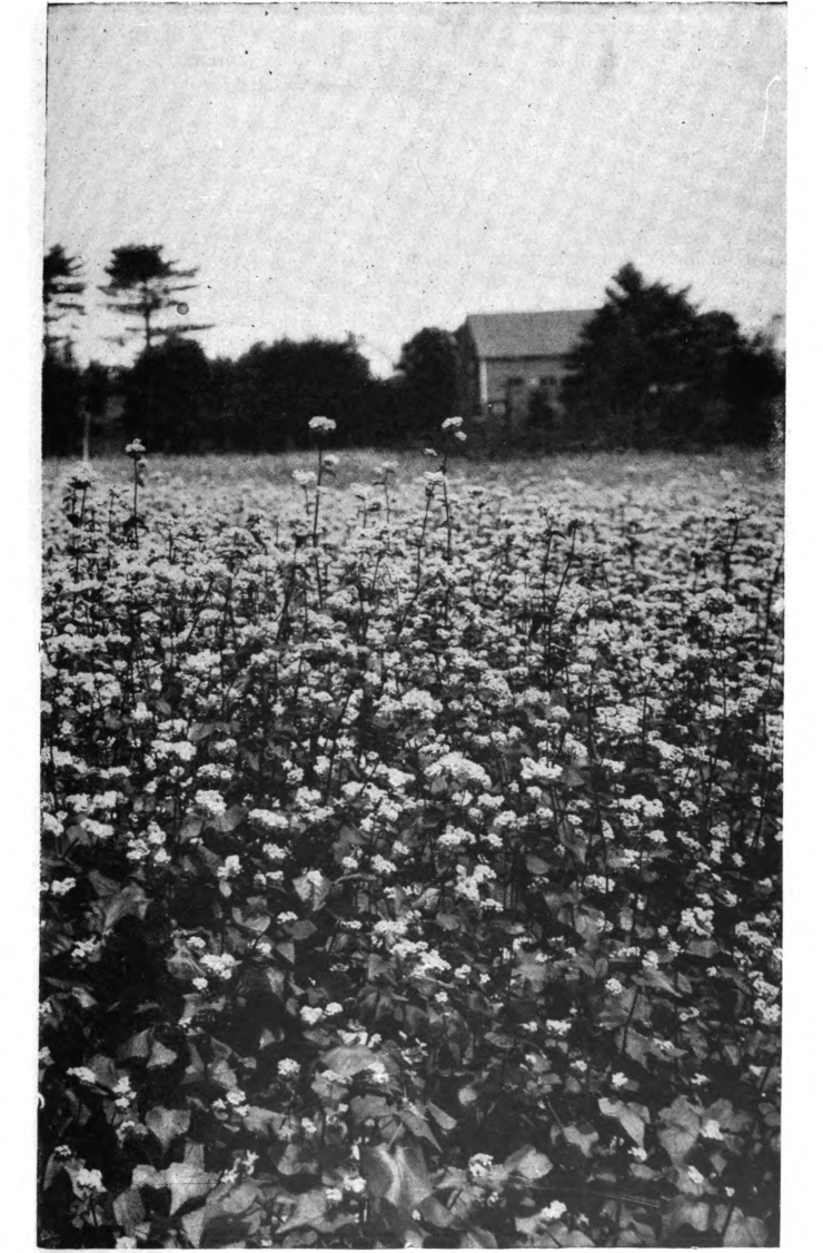 Fig. 32. — A field of buckwheat in full bloom. From A B C and X Y Z of Bee Culture.