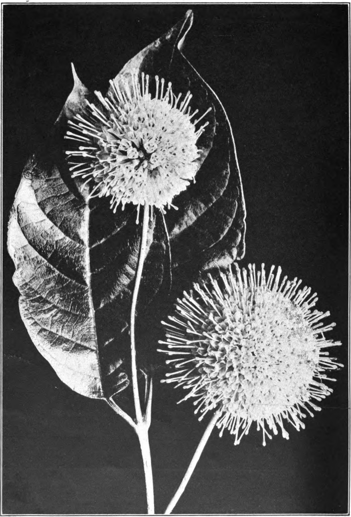 No. 35. — Buttonbush (Cephalanthus occidentalis). Photographed by Lovell