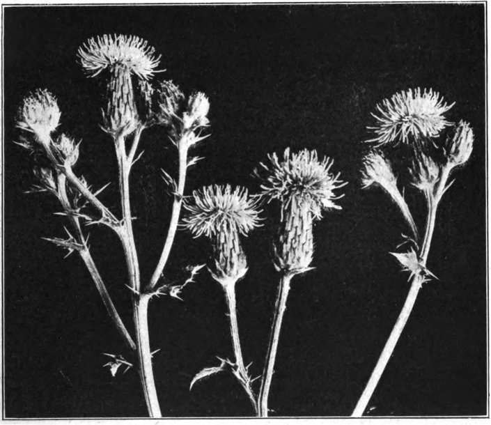 Canada thistle (Cirsium arvense). Photographed by Lovell.