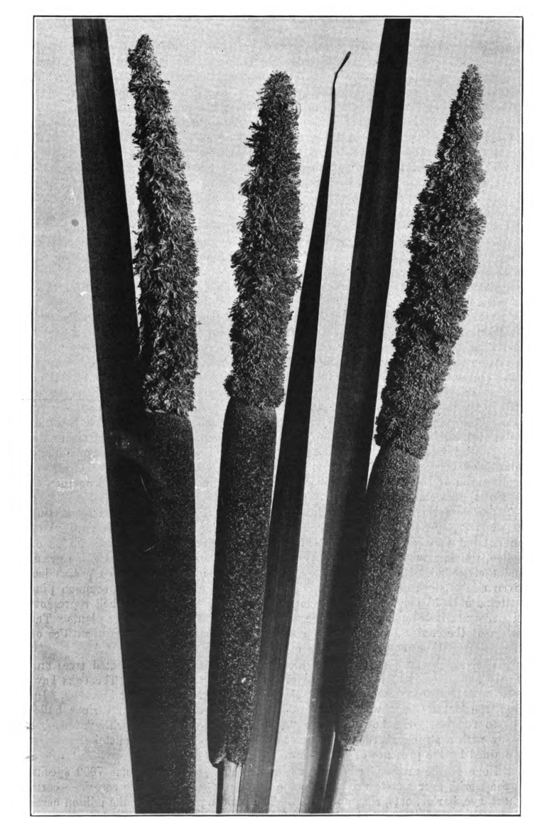 Fig. 4—Cat-Tail (Typha latifolia). Photographed by Lovell.