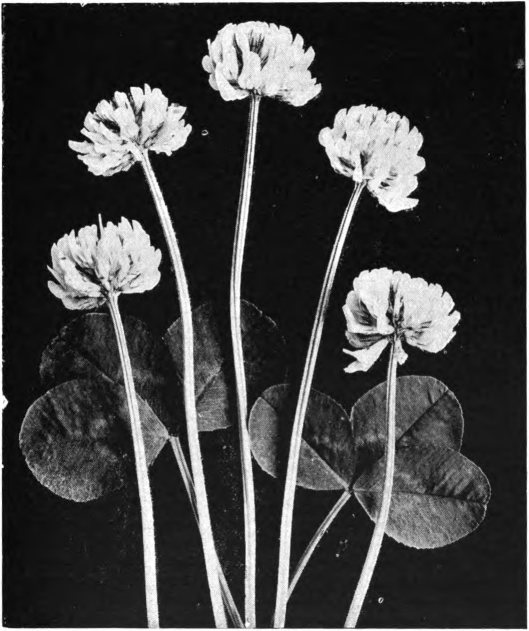 Fig. 46. — White clover blossom, first stage. Photographed by Lovell.