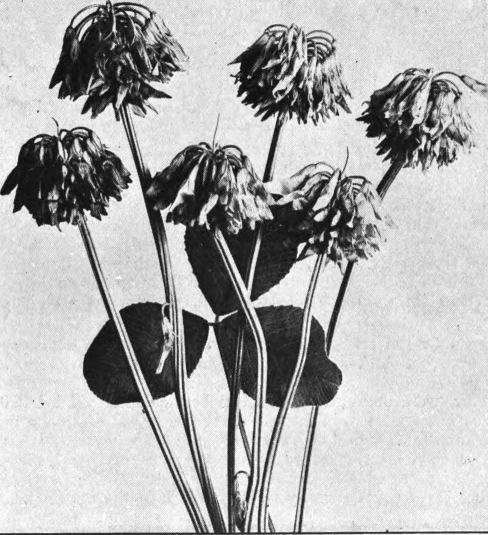 Fig. 47. — White Clover (Trifolium repens). Last stage, in, which the flowers are all bent downward and have turned brown. Photographed by Lovell.