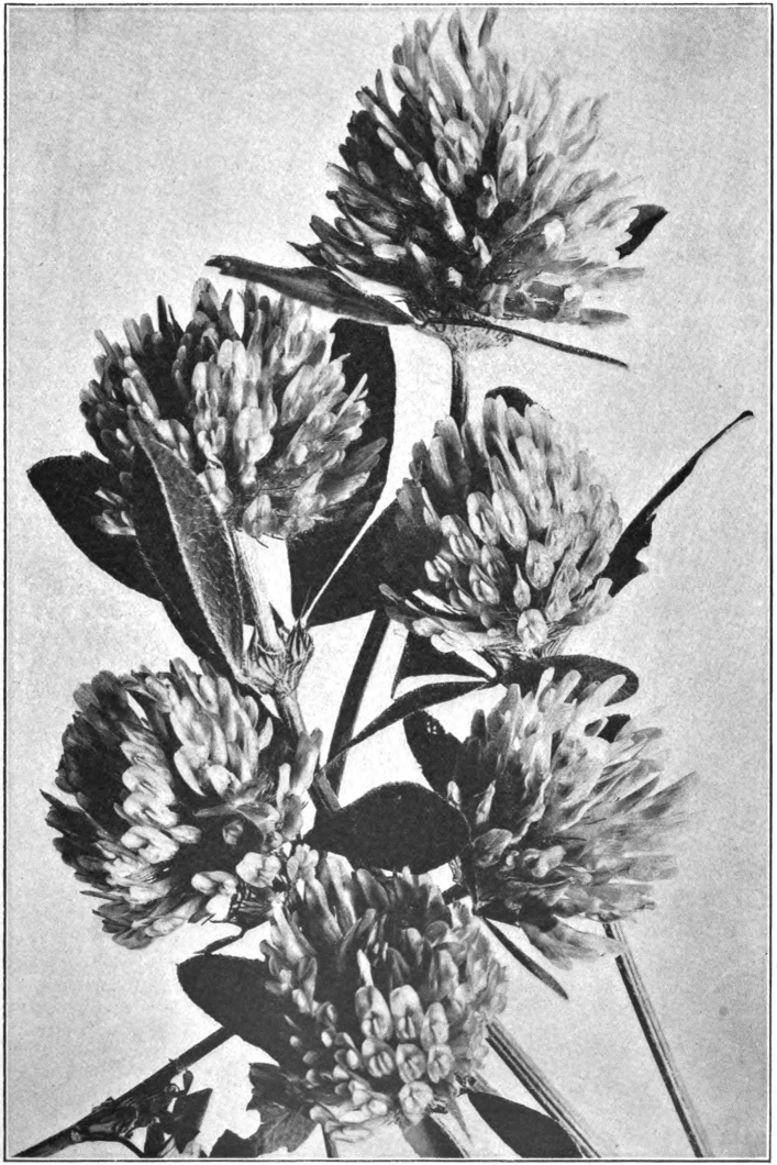 Fig. 49. — Red Clover (Trifolium pratense). Photographed by Lovell.