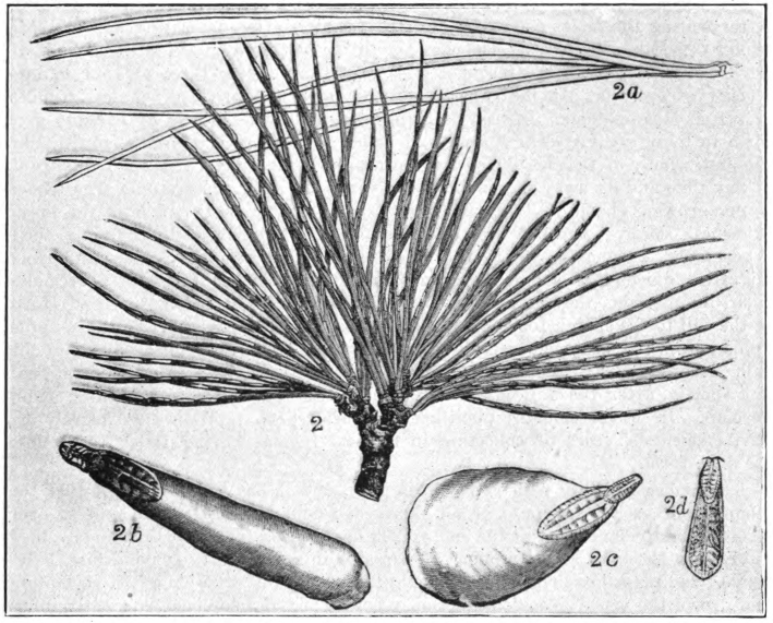 Fig. 6.—Pine-leaf scale (Chionaspis pinifoliae) on leaves of white pine (Pinus Strobus), natural size, leaves stunted; 2a, leaves of white pine not stunted by scale-insects; 2b, scale of female usual form, enlarged; 2c, scale of female, wide form, enlarged; 2d, scale of male enlarged. (After Comstock.)