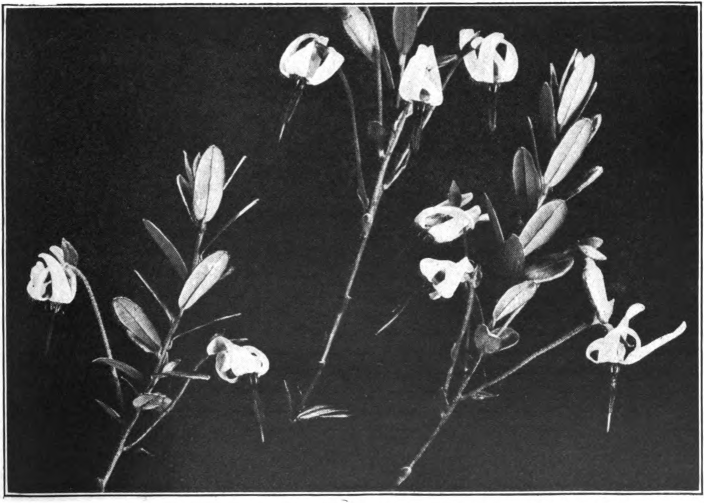 Fig. 53. — American Cranberry (Vaccinium macrocarpon). Photographed by Lovell.