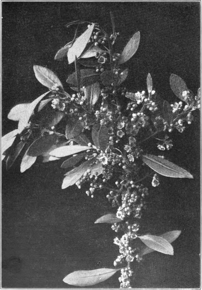 Fig. 57. — Gallberry (Ilex glabra). Photographed by J. J. Wilder.