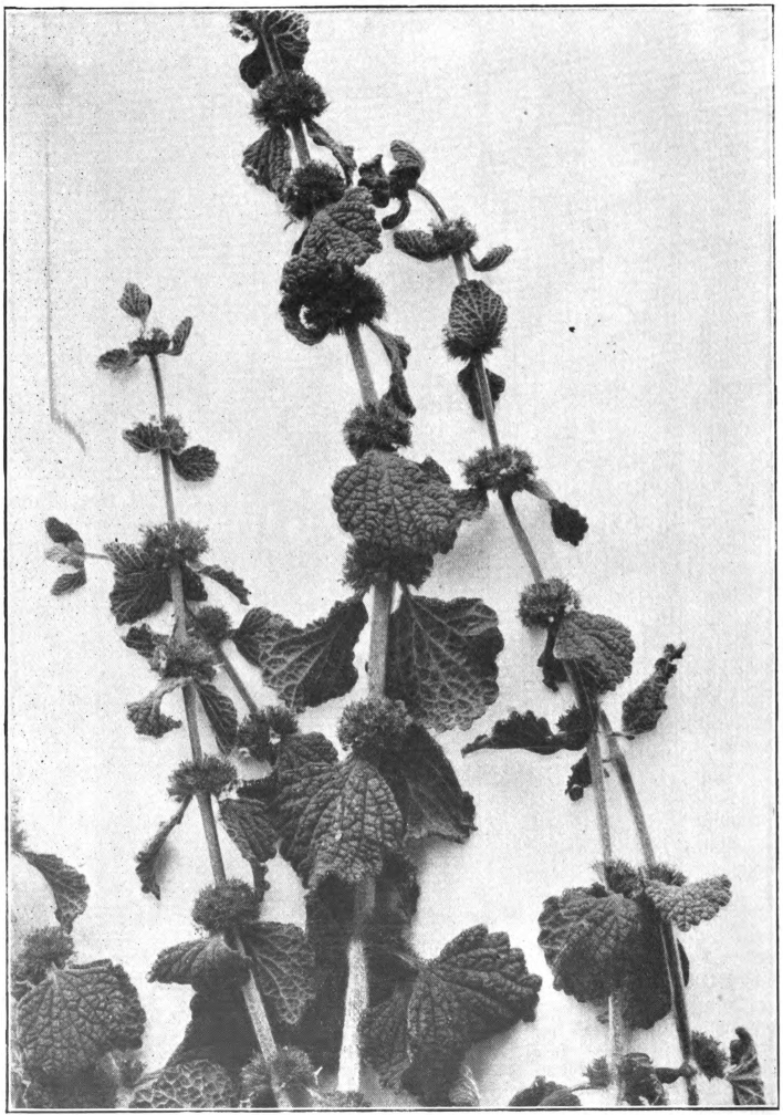 Fig. 68. — Horehound (Marrubium vulgare). Photographed by E. R. Root.