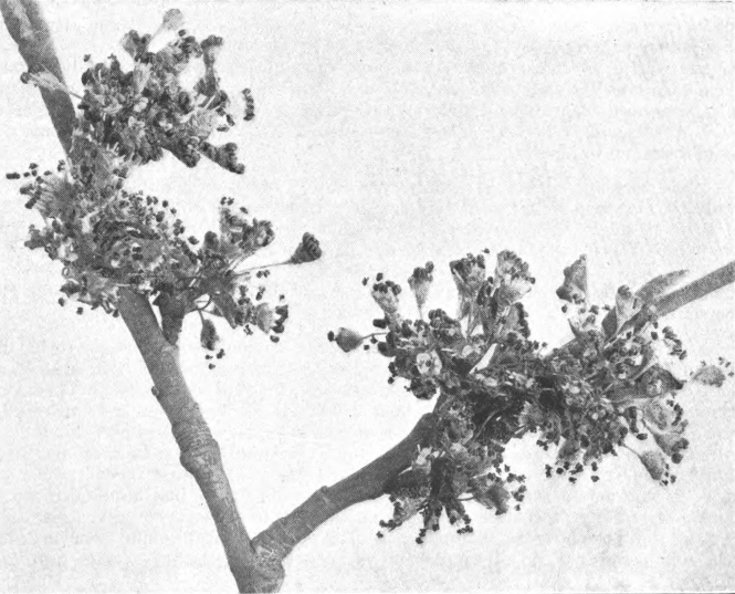 American Elm (Ulmus americana), Photographed by Lovell.