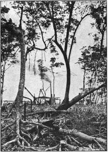 Fig. 72. — Black mangrove on the left; red mangrove on the right.