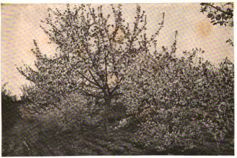 Fruit blossoms furnish large quantities of honey for early brood rearing