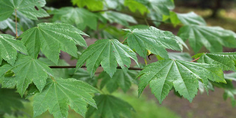 Acer circinatum – description, flowering period and general distribution in British Columbia. green large leaves on a branch