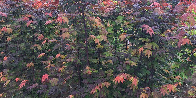 Vine maple – description, flowering period and general distribution in British Columbia. red foliage, autumn