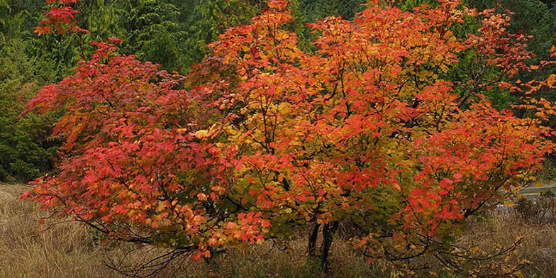 Acer circinatum – description, flowering period and general distribution in British Columbia. the tree is strewn with leaves of different shades of red
