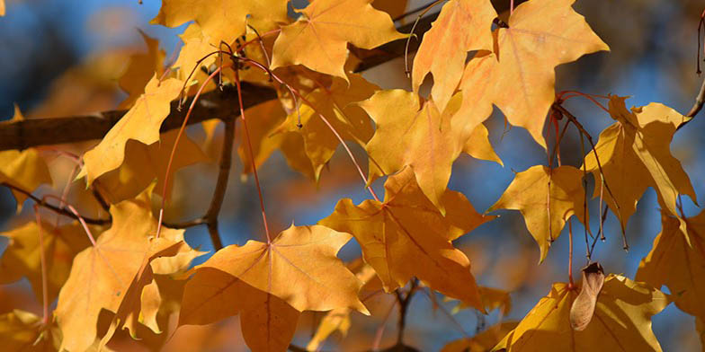 Acer glabrum – description, flowering period and general distribution in Montana. beautiful yellow leaves, autumn