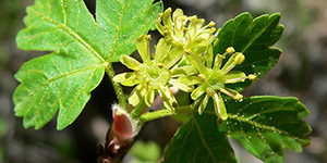 Acer glabrum – description, flowering period and time in Wyoming, blooming flowers close-up.