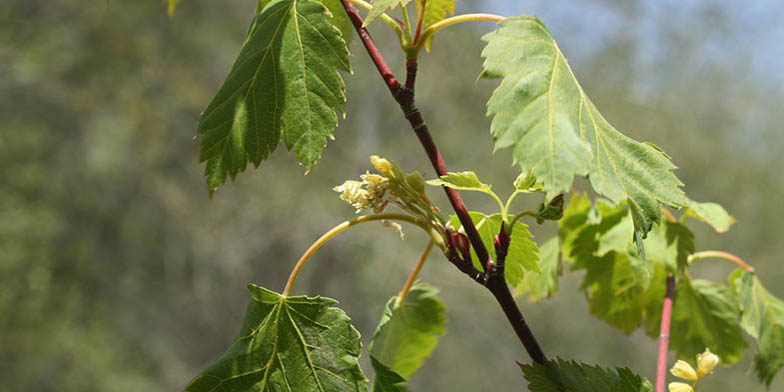Acer glabrum – description, flowering period and general distribution in Montana. flowering branch