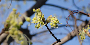 Acer grandidentatum – description, flowering period and time in Wyoming, flowers close up.