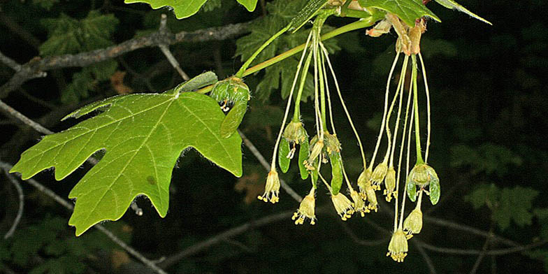 Bigtooth maple – description, flowering period. flowering plant