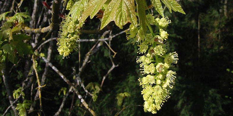 Bigleaf maple – description, flowering period. bunch of flowers on a branch
