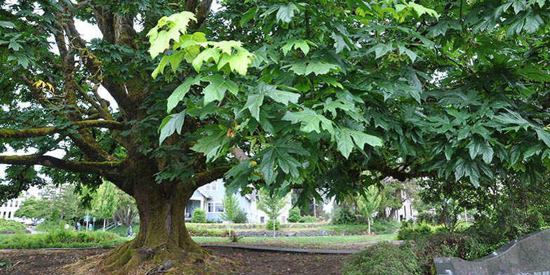 Bigleaf maple – description, flowering period. large tree, clearly sees the trunk and the shape of the branches