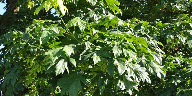 Bigleaf maple – description, flowering period. dense green foliage