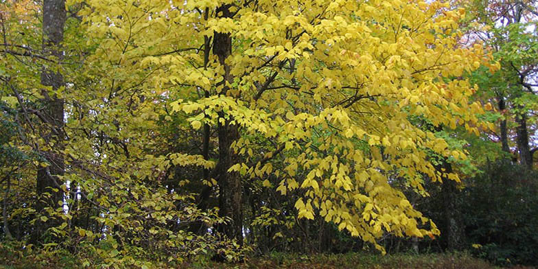 Whistlewood – description, flowering period and general distribution in Maine. big tree in autumn